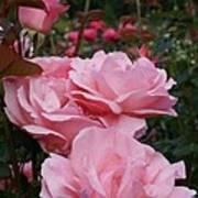 Pink Rose Group I Art Print
