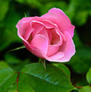Pink Rose Volunteer Art Print