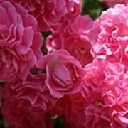 Pink Roses In Sunlight Art Print