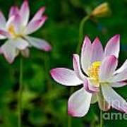 Pink Sacred Lotus Art Print