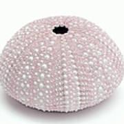 Pink Sea Urchin White Art Print