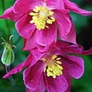 Pink Sensations Columbine Art Print