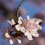 Pink Spring - Sunlit Blossoms And Blue Sky - Vertical Art Print