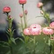 Pink Straw Flowers After A Light Rain Art Print