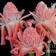 Pink Torch Ginger Trio On Black Art Print