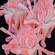 Pink Torch Ginger Trio On Black - No 2 Art Print