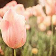 Pink Tulip Field Art Print