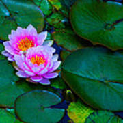 Pink Water Lilies - Lotus Art Print