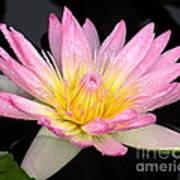 Pink Water Lily Art Print