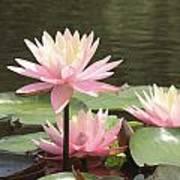 Pink Waterlilies Art Print