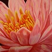 Pink Waterlily Art Print