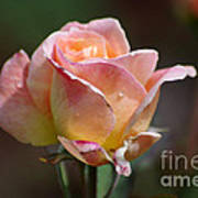 Pink Yellow Rose 01 Art Print