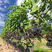Pinot Noir Grapes In Niagara Art Print