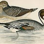 Pintail Duck Art Print