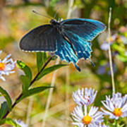 Pipevine Swallowtail On Asters Art Print