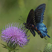 Pipevine Swallowtail Visiting Field Thistle Din158 Art Print