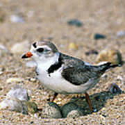 Piping Plover Sitting on Eggs Art Print