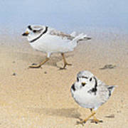Piping Plovers Art Print