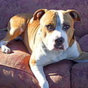 Pitbull On A Couch Print by Ritmo Boxer Designs