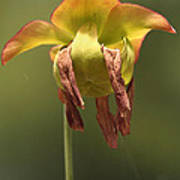 Pitcher Plant Flower Art Print