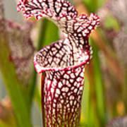 Plant - Pretty As A Pitcher Plant Art Print