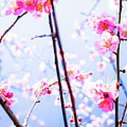 Plum Blossoms In Bloom Art Print