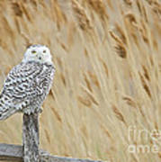 Plum Island Snowy Owl On A Fence Post Art Print