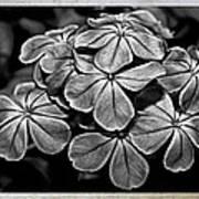 Plumbago In Gray Art Print