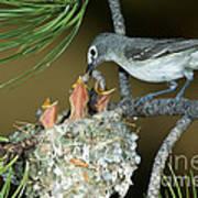 Plumbeous Vireo Feeding Worm To Chicks Art Print