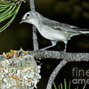 Plumbeous Vireo With Four Chicks In Nest Art Print