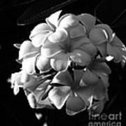 Plumeria Black White Art Print