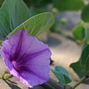 Pohuehue - Pua Nani O Kamaole Hawaii - Beach Morning Glory Art Print