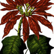 Poinsettia A Traditional Christmas Plant Vintage Poster Art Print