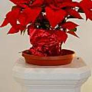 Poinsettia On A Pedestal No 1 Art Print