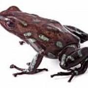 poison dart frog Panama Art Print