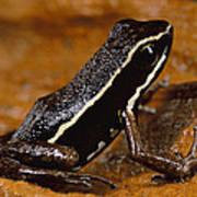 Poison Dart Frog Portrait Amazonian Art Print
