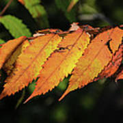Poison Sumac Golden Kickoff To Fall Colors Art Print