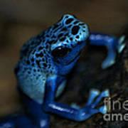Poisonous Blue Frog 02 Art Print