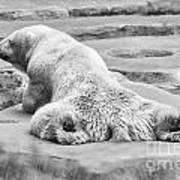 Polar Bear Bw Art Print