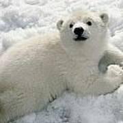 Polar Bear Cub Playing In Snow Alaska Art Print
