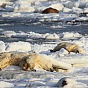Polar Bear Mother And Cub Grooming Art Print