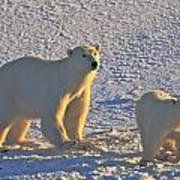 Polar Bear Mother And Cub On Ice Art Print