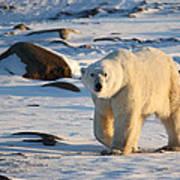 Polar Bear On The Tundra Art Print