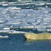Polar Bear Wading Along Ice Floe Art Print