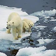 Polar Bear With Cubs On Pack Ice Art Print