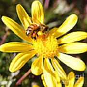 Pollen-laden Bee On Yellow Daisy Art Print