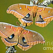 Polyphemus Moths Art Print