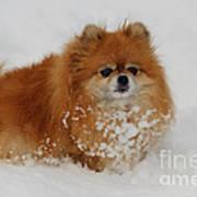 Pomeranian In Snow Art Print by John Shaw