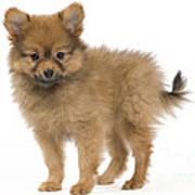Pomeranian Puppy Dog Art Print