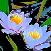 Pond Lily 17 Art Print